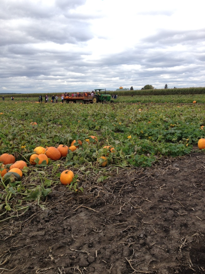 ...but, alas - there were no METAL pumpkins here. At 39 cents a pound it was hard to summon METAL at this pumpkin patch.