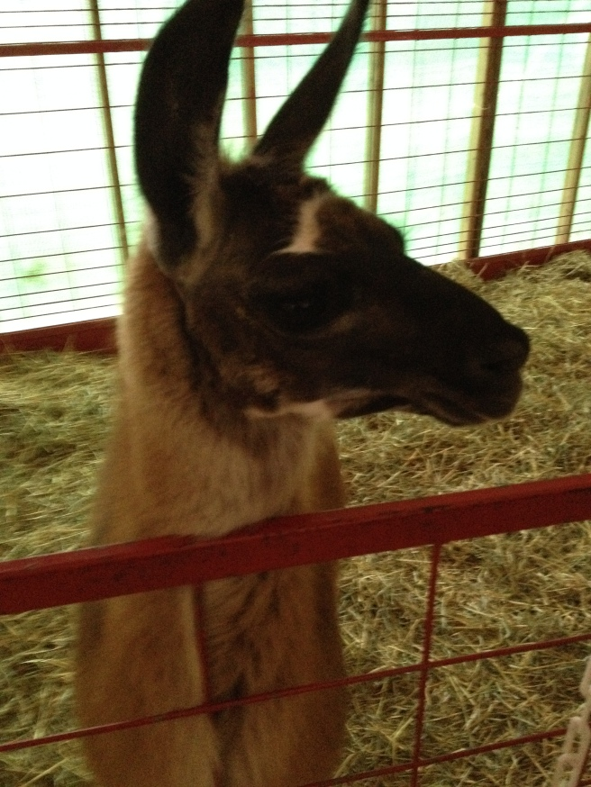 I asked this Alpaca if he knew of the METAL PUMPKIN. Since he knows about some amazing yarn GFK uses on the regular.